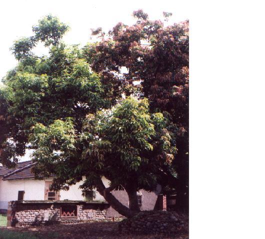 頂興堂烏龜芒果樹和龍眼樹